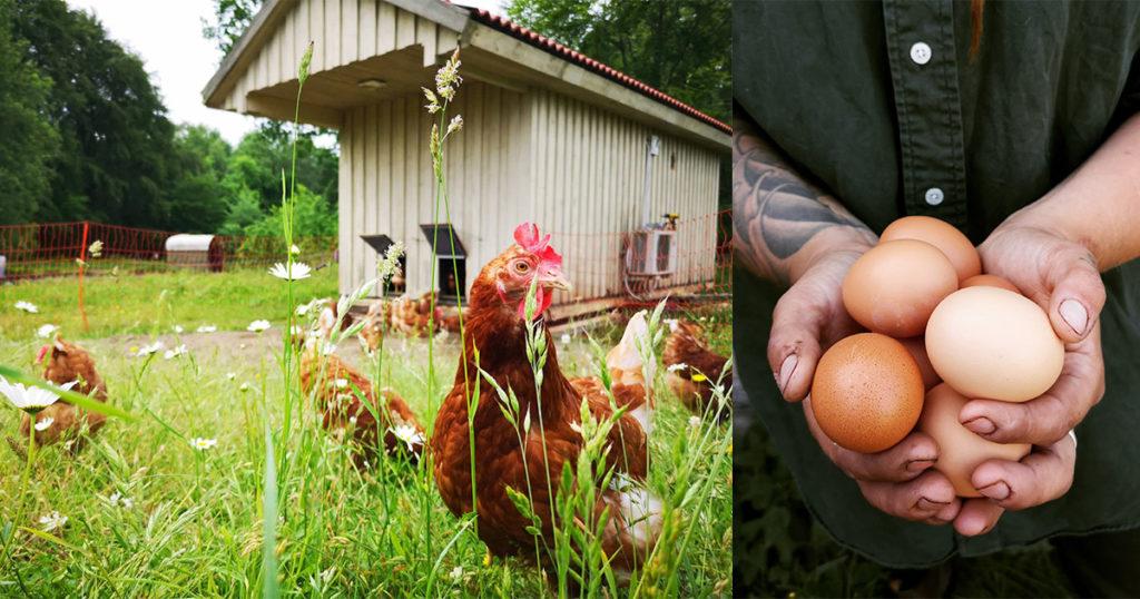 Färska ägg från Angelikas gård